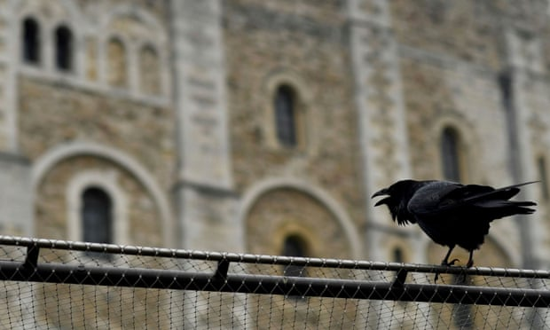 'Bored' ravens straying from Tower of London as vacationer numbers fall  'Bored' ravens straying from Tower of London as vacationer numbers fall 3500