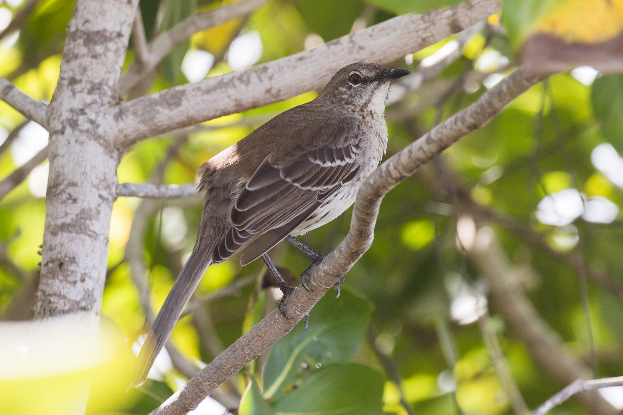 Courtroom choice 'a much-needed win for migratory birds' – BirdWatching  Courtroom choice 'a much-needed win for migratory birds' – BirdWatching bahama mockingbird shutterstock 712171072
