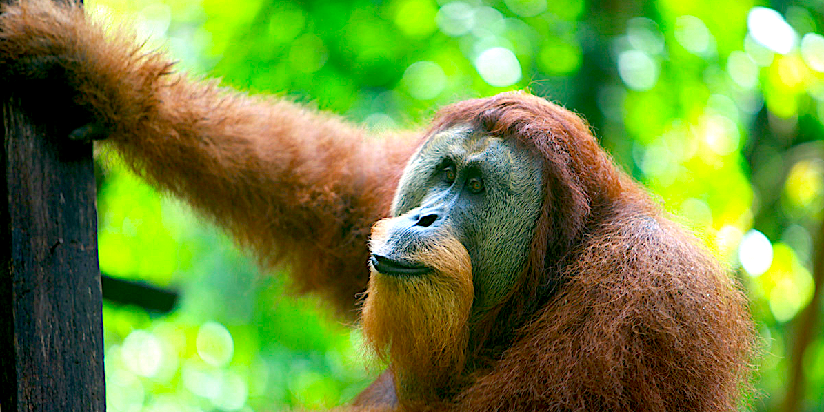 'Meaningless certification': Examine makes the case towards 'sustainable' palm oil  'Meaningless certification': Examine makes the case towards 'sustainable' palm oil large male orangutan in Sumatra