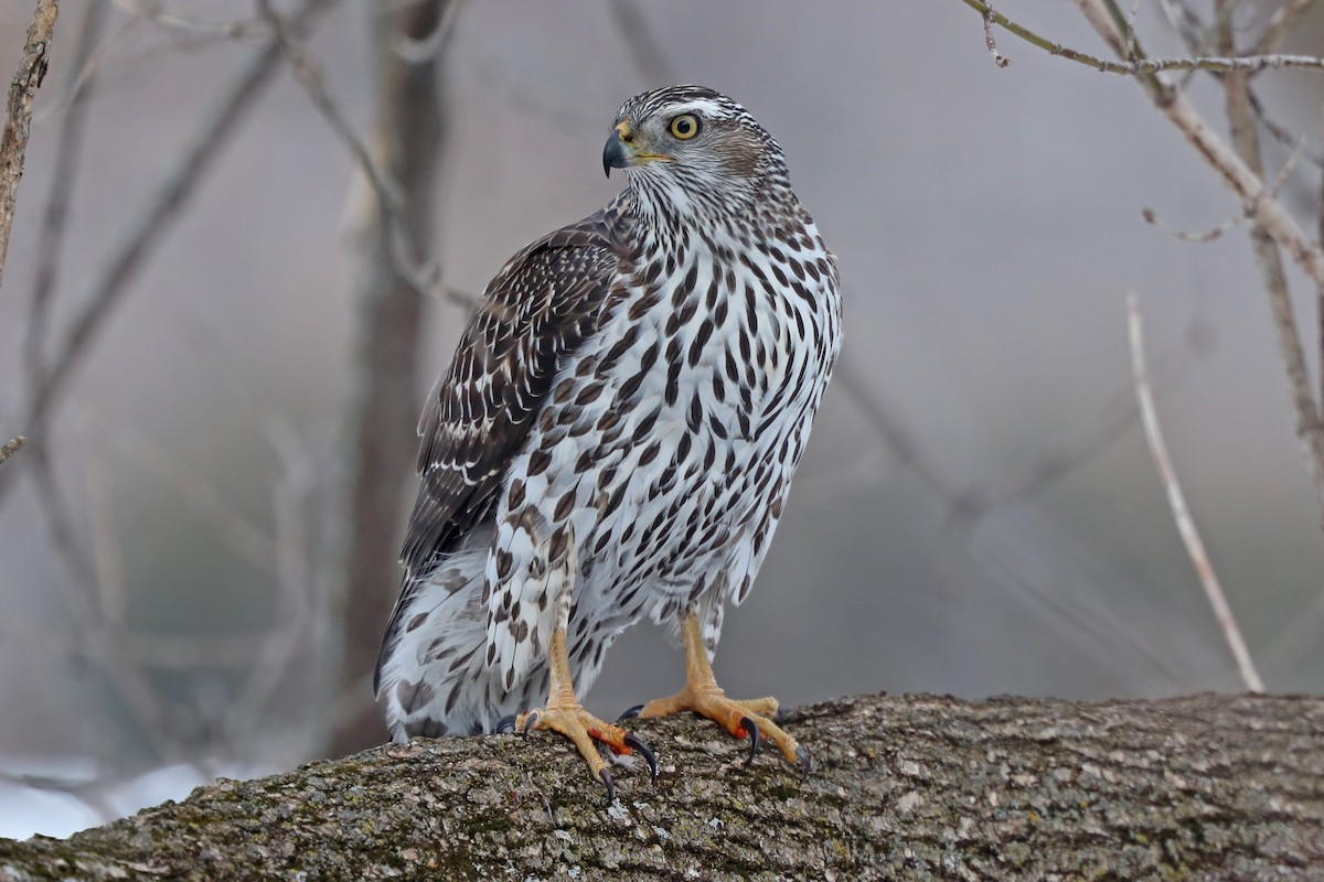 Win a free spot within the Cornell Lab's raptor identification course – eBird  Win a free spot within the Cornell Lab's raptor identification course – eBird 1200