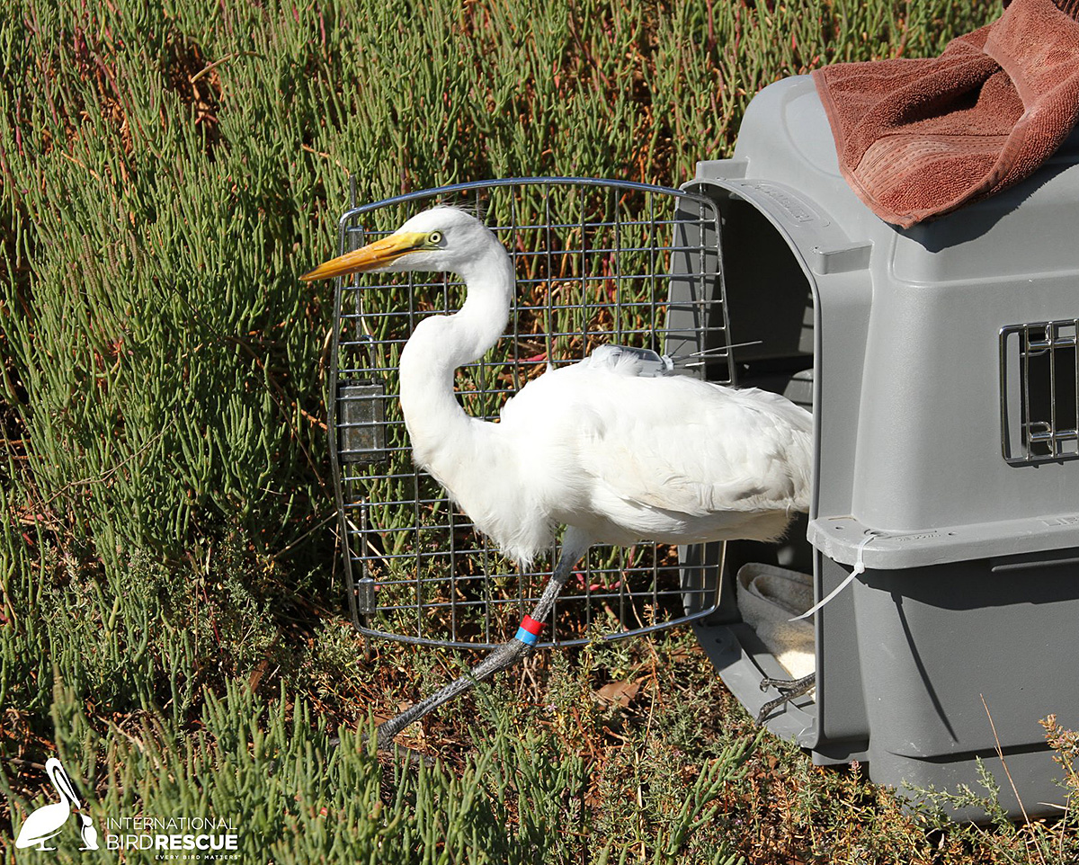 Nice Egrets Launched with GPS Trackers To Support in Waterbird Analysis  Nice Egrets Launched with GPS Trackers To Support in Waterbird Analysis Great Egret telemetry Audubon Canyon Ranch