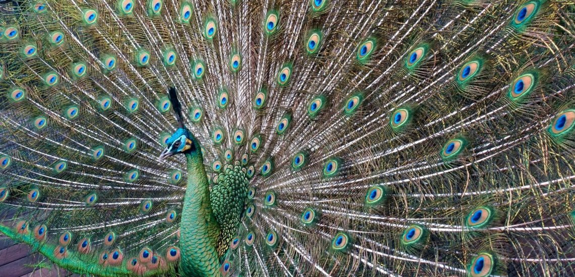 Newest analysis: how does human disturbance have an effect on the lives of birds?  Newest analysis: how does human disturbance have an effect on the lives of birds? green peafowl c roger smith flickr smaller 1 cropped