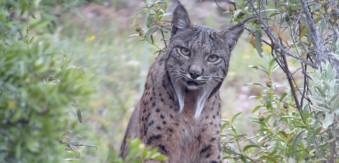 Conservation motion has prevented at the least 28 extinctions since 1993  Conservation motion has prevented at the least 28 extinctions since 1993 iberian lynx by nathan ranc 3