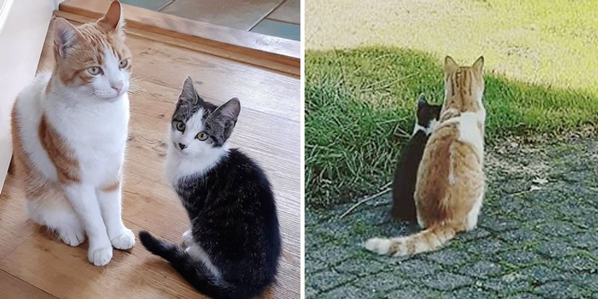 Cat Befriends Stray Kitten from Yard and Brings Him into His House  Cat Befriends Stray Kitten from Yard and Brings Him into His House img