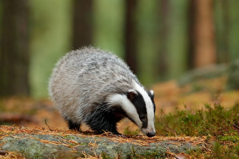 Petition: Cease UK Badger Cull  Petition: Cease UK Badger Cull shutterstock 788449597 768x512