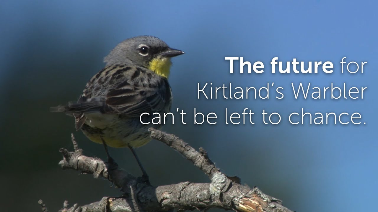Kirtland's Warbler: Hold it Coming Again  Kirtland's Warbler: Hold it Coming Again 1602193449 maxresdefault