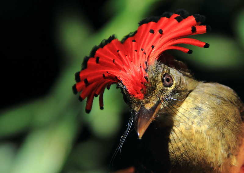Because the Amazon burns, what occurs to its biodiversity?  Because the Amazon burns, what occurs to its biodiversity? Birds Royal Flycatcher Onychorhynchus coronatus