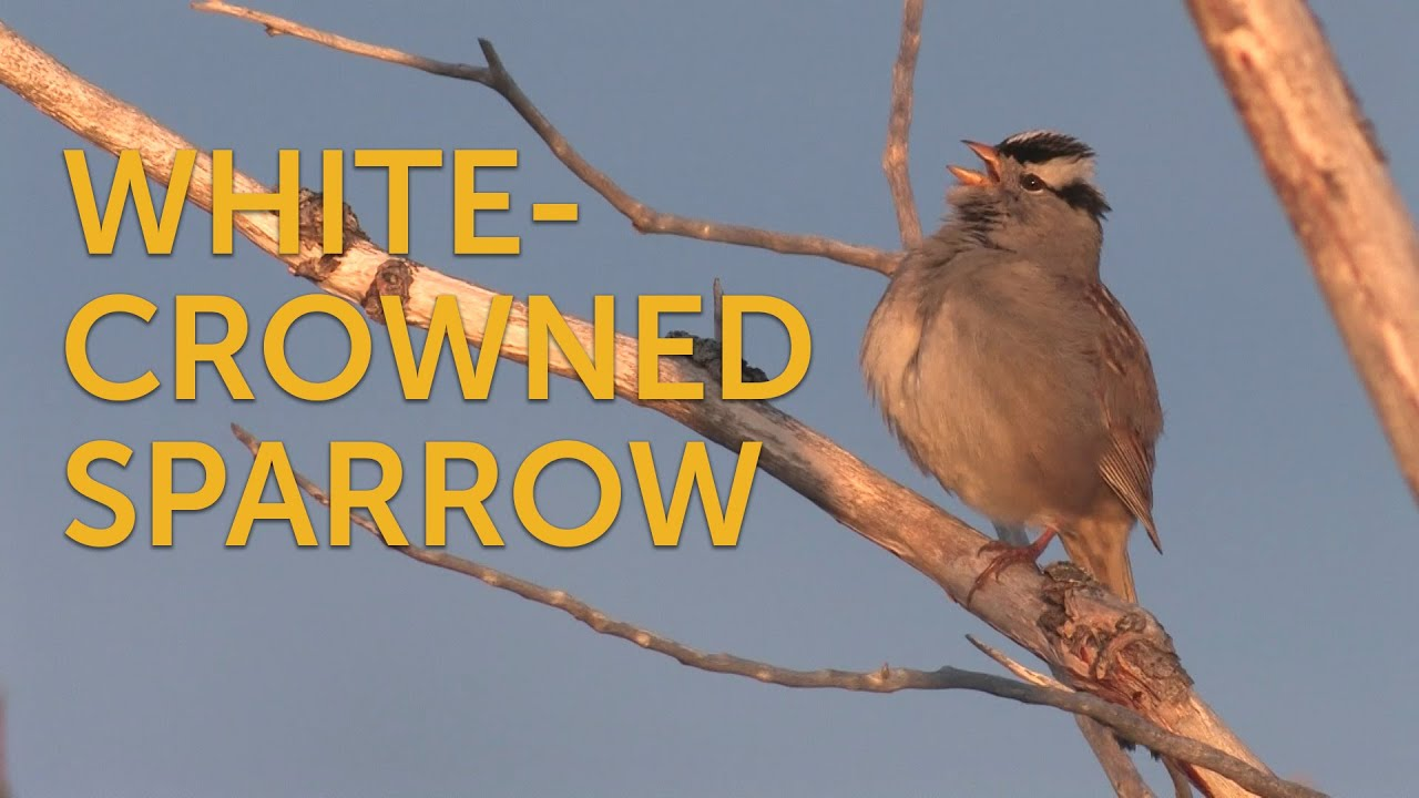 White-crowned Sparrow Music  White-crowned Sparrow Music 1608648307 maxresdefault