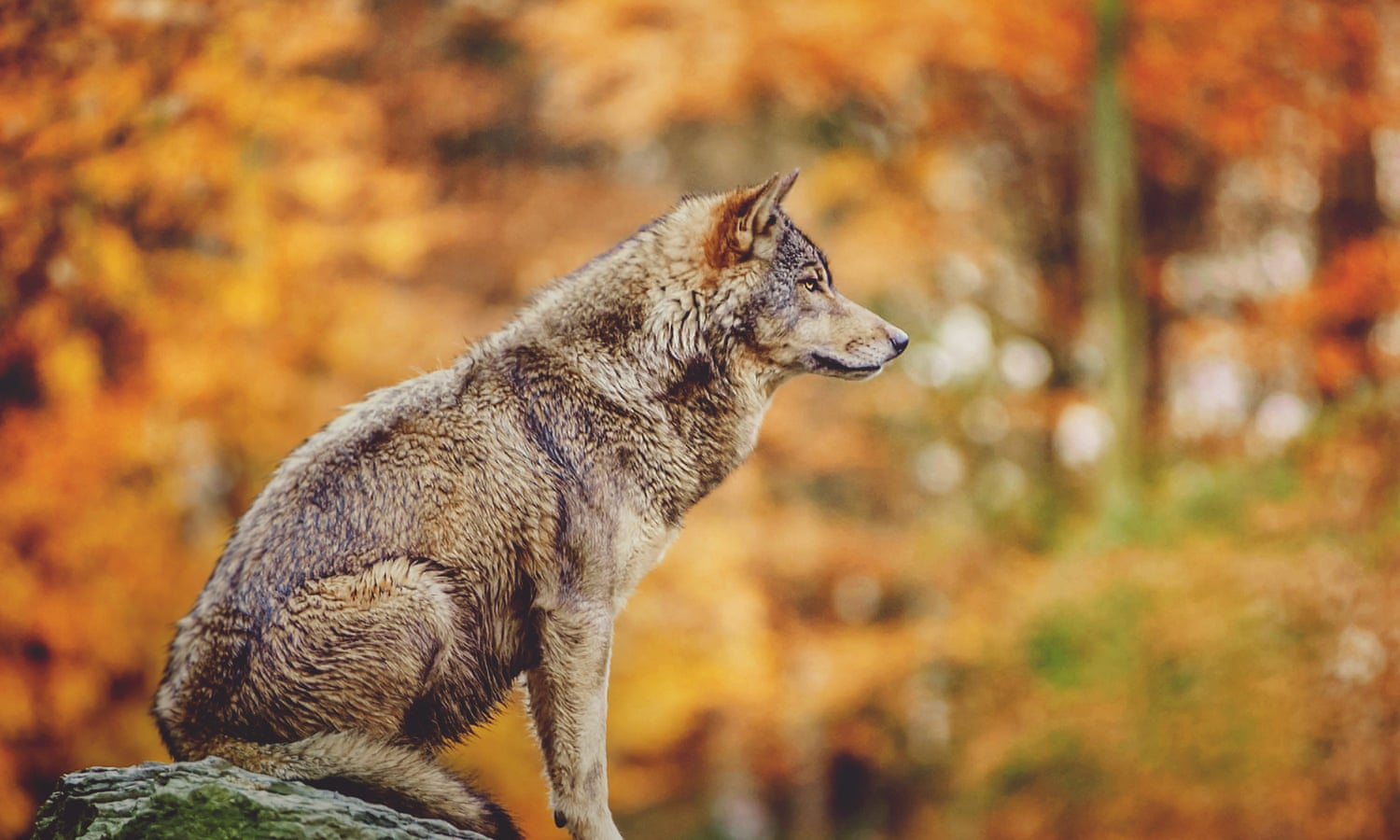 Panorama of concern: why we want the wolf – The Lengthy Learn  Panorama of concern: why we want the wolf – The Lengthy Learn 1747