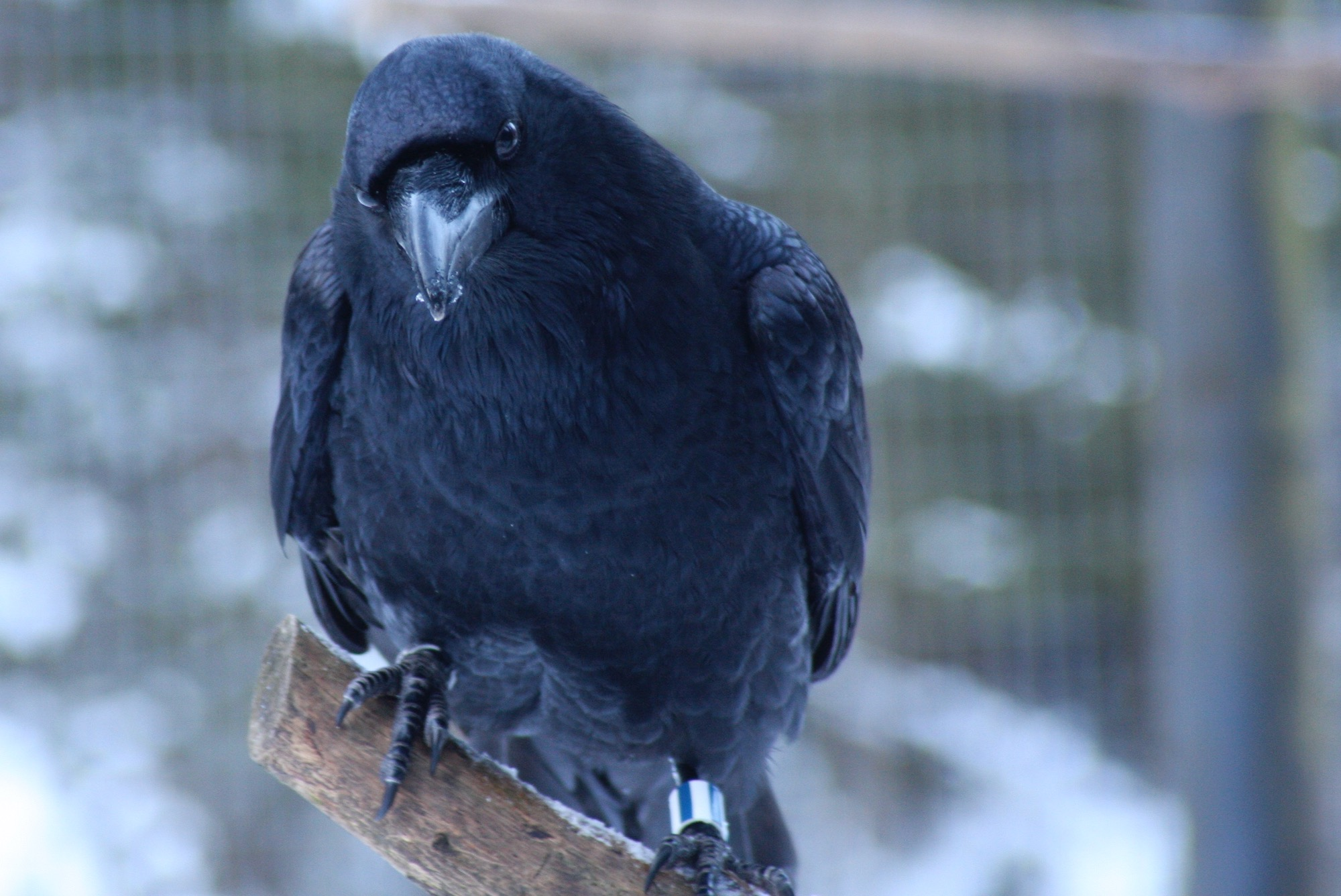 4-month-old ravens' cognitive abilities much like these of grownup nice apes – BirdWatching  4-month-old ravens' cognitive abilities much like these of grownup nice apes – BirdWatching Common Raven Claudia Wascher