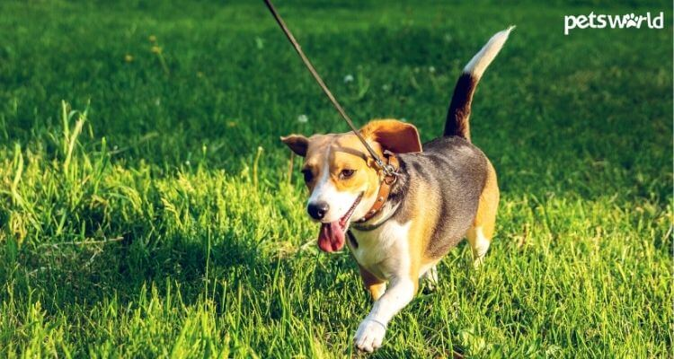 How Lengthy Ought to Puppies Go For Walks?  How Lengthy Ought to Puppies Go For Walks? How Long Should Puppies Go For Walks