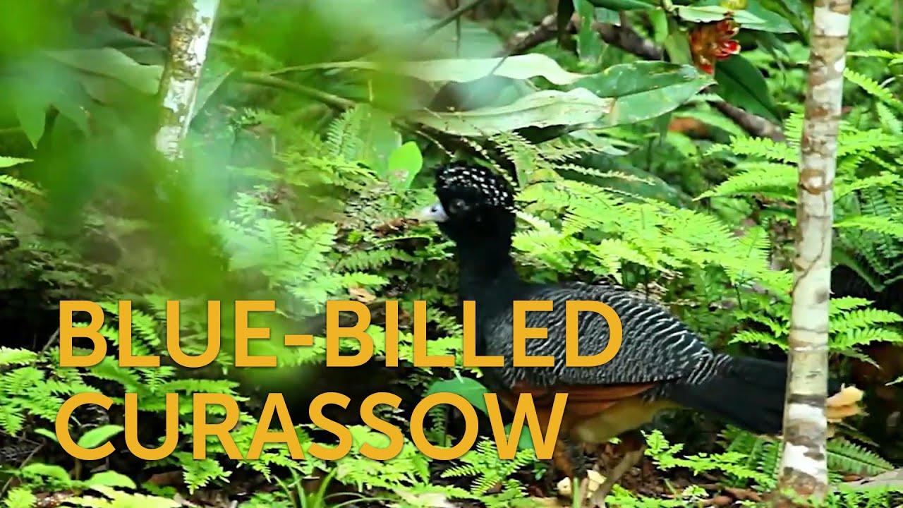 Blue-billed Curassow  Blue-billed Curassow 1612018746 maxresdefault