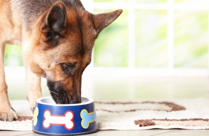 Breed-specific pet food for COVID purebred increase  Breed-specific pet food for COVID purebred increase German Shepherd eats dreamstime 13103889