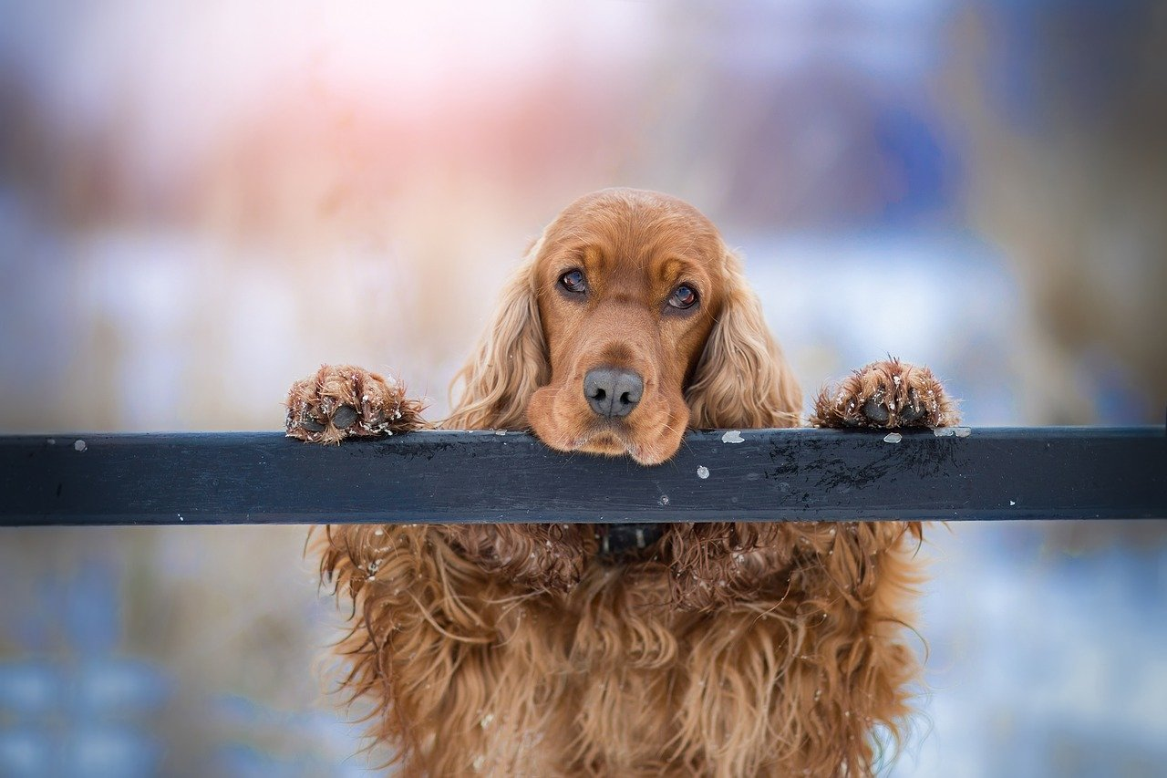 10 Pure Methods to Get Rid of Canine Fleas and Itchy Pores and skin  10 Pure Methods to Get Rid of Canine Fleas and Itchy Pores and skin cocker spaniel 3981587 1280