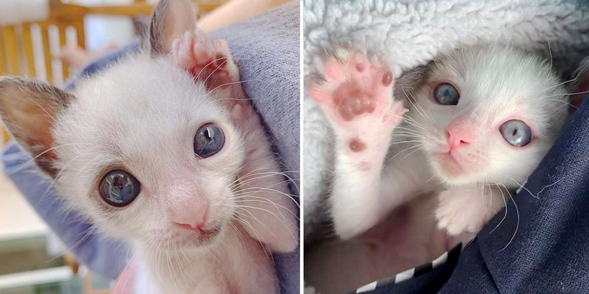 Kitten with Large Eyes However Half the Measurement, Clings to Household that Saved His Life and Transforms into Beautiful Cat  Kitten with Large Eyes However Half the Measurement, Clings to Household that Saved His Life and Transforms into Beautiful Cat 1614353717 img