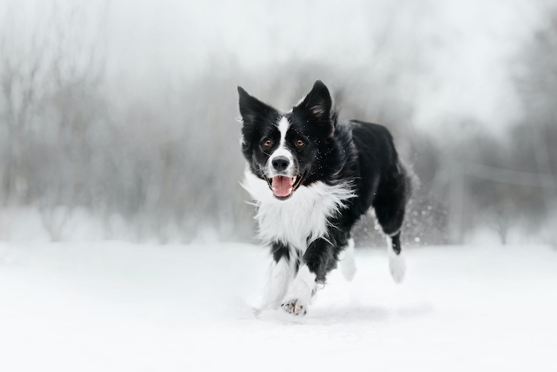 Canine Zoomies: Why They Occur and What to Do  Canine Zoomies: Why They Occur and What to Do GettyImages 1241136580