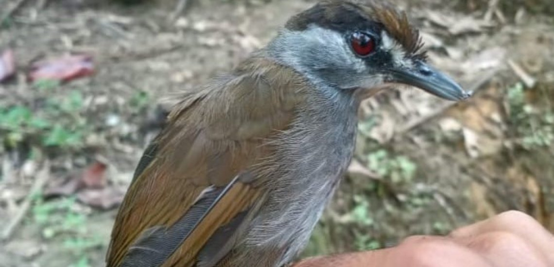 Hen lacking for 172 years rediscovered in Borneo rainforest  Hen lacking for 172 years rediscovered in Borneo rainforest black browed babbler 3