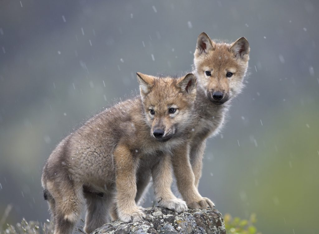 Idaho paperwork reveal weeks-old wolf pups amongst 570 maimed, slaughtered wolves  Idaho paperwork reveal weeks-old wolf pups amongst 570 maimed, slaughtered wolves gray wolf puppies pc Tim Fitzharris purchased unlimited license give credit scaled