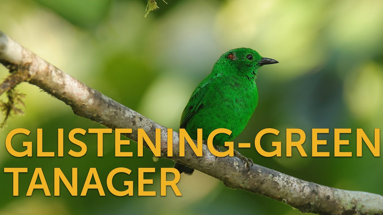 Glistening-green Tanager  Glistening-green Tanager 1615649885 maxresdefault