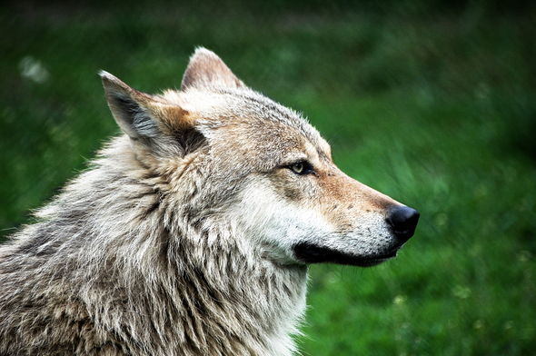Pet proprietor shocked to find her canine is a wolf – and must hold it secret  Pet proprietor shocked to find her canine is a wolf – and must hold it secret 4B7F2CF2 14D5 454D BE89 8DB3AEE48F7F