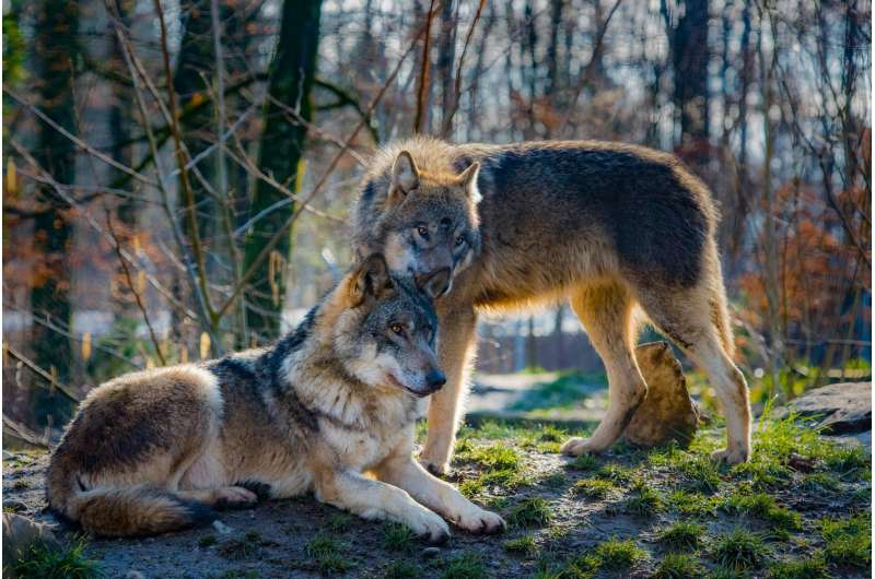 Lots of of Idaho wolves may very well be killed beneath new laws  Lots of of Idaho wolves may very well be killed beneath new laws wolves