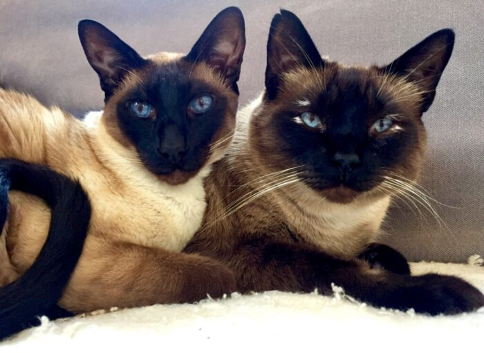 Wished: Senior Siamese Cats for Lengthy Time period Observational Research  Wished: Senior Siamese Cats for Lengthy Time period Observational Research IMG 3943 e1623951403974