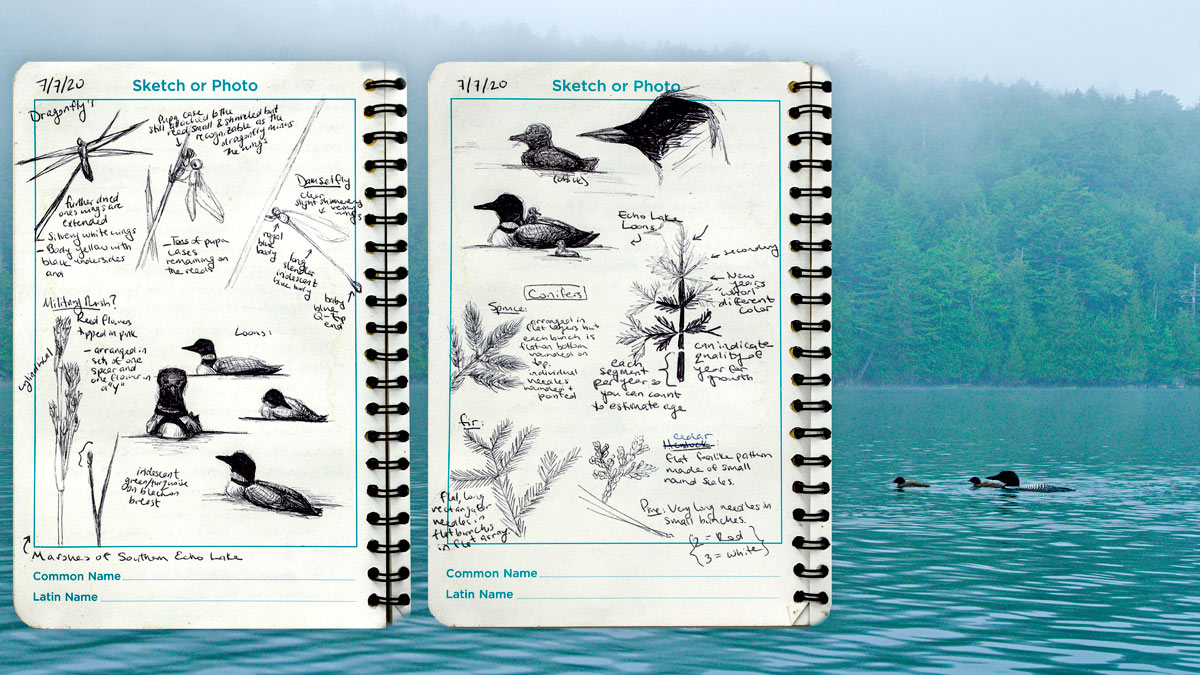 Gallery: Watching Loons with the Eyes of a Sketch Artist  Gallery: Watching Loons with the Eyes of a Sketch Artist LoonFI Laman