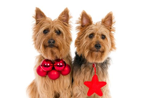 Canine Cloning: Would You Clone Your Canine?  Canine Cloning: Would You Clone Your Canine? dreamstime xs 47661478
