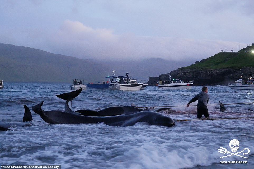 The blood sea: Faroe Islands hunters slaughter 175 pilot whales, turning the waters purple after driving the animals in the direction of the shore the place males waited with hooks, knives and spears  The blood sea: Faroe Islands hunters slaughter 175 pilot whales, turning the waters purple after driving the animals in the direction of the shore the place males waited with hooks, knives and spears 44814805 9737013 image a 13 1624973594667