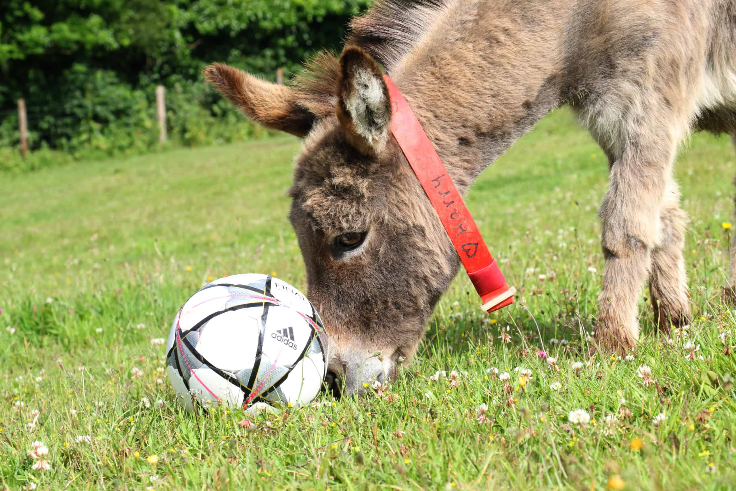 Even donkeys are moving into the soccer spirit  Even donkeys are moving into the soccer spirit Harry the donkey at The Donkey Sanctuary ii Credit The Donkey Sanctuary scaled