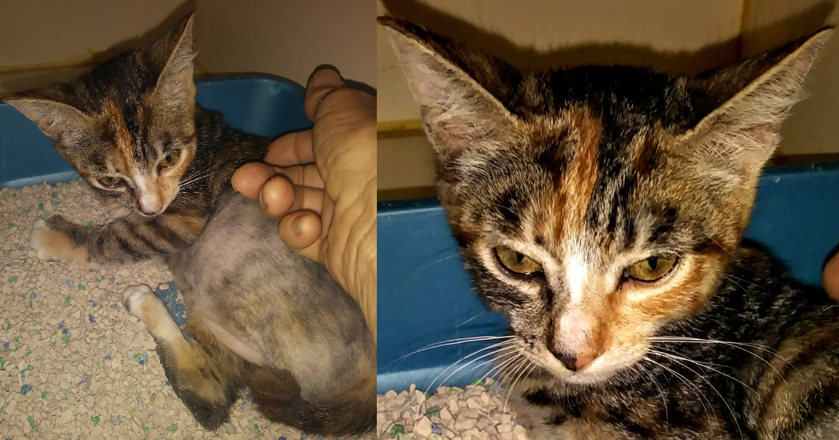 From Throw-Away Kitten To Beloved Magnificence, Victoria Needs You To Know How You Saved Her Life  From Throw-Away Kitten To Beloved Magnificence, Victoria Needs You To Know How You Saved Her Life victoria